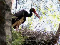Черный аист на гнезде