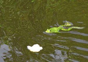 Лягушка плывёт