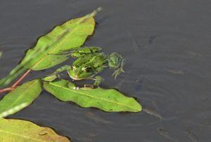 Мальки и лягушка