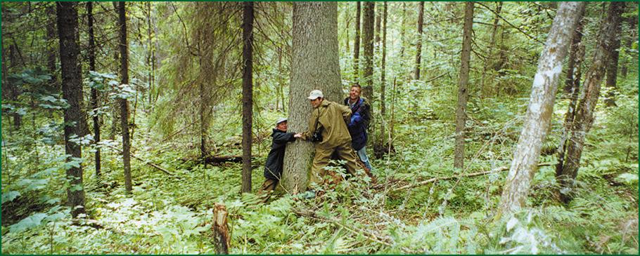elka-velikan-zapovednik-kologrivskiy-les