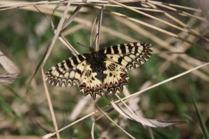 Бабочка поликсена