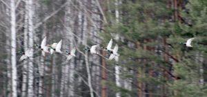 Группа крякв над прудами Осенок