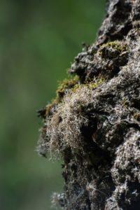 анаптихия реснитчатая