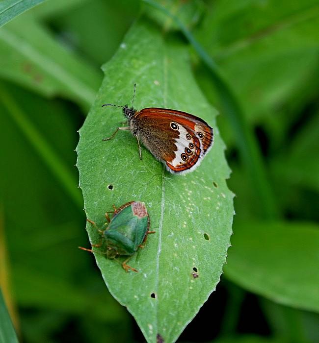 Сенница гликерион и щитник зелёный древесный