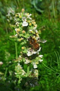 Пчела на мелиссе