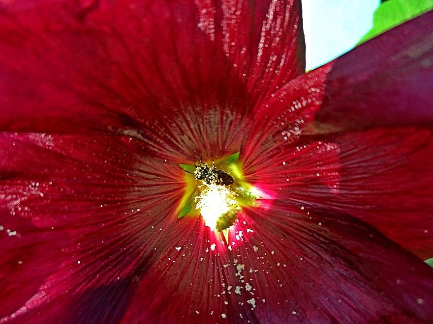 Пчела в мальве