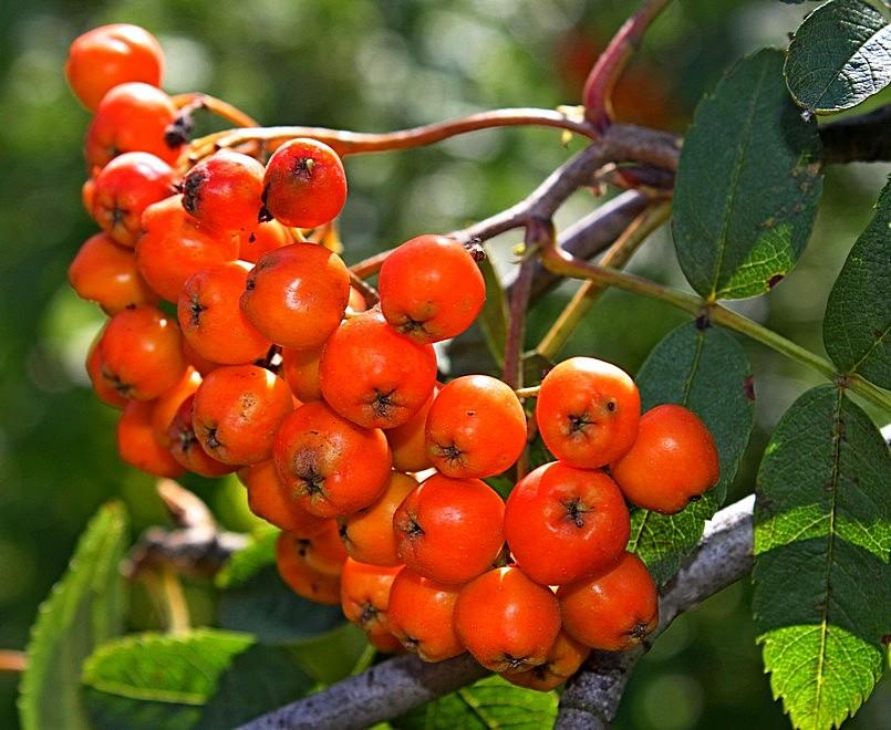 Картинка дерева рябины и ее плодов