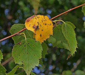 Жёлтый лист берёзы